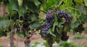 grapes-652697_960_720